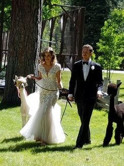Photo of ALPACAS IN YOUR WEDDING