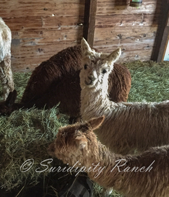 Our crias starting to eat hay