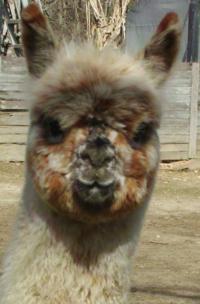 Rare Gem Alpacas - Logo