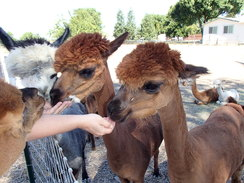 Photo of Agisting Alpacas