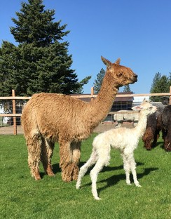 0376d1641 Openherd - Alpacas for Sale