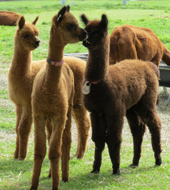 National Alpaca Farm Days Open House