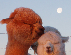 Alpaca Marketing, Advertising and Sales
