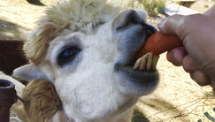 In the Moscow zoo was born calf Alpaca