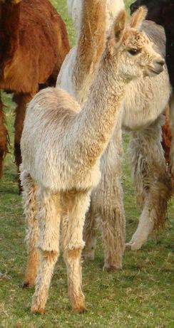 6-Month old Cria (Alpaca Baby)