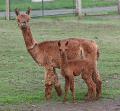 Kahlua with Cria
