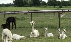 Alpacas 101 classes