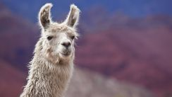 Llama blood clue to beating all flu