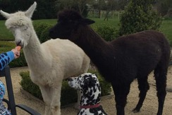 Beloved alpaca found slashed with 'guts out' in Ludgershall