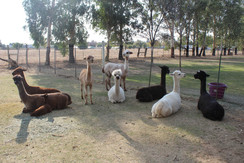 Dogs still at large after attacking alpacas