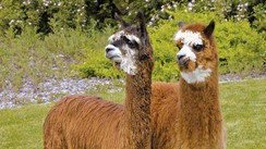 Alpaca lovers, get ready: The National Alpaca Show returns to Denver in March
