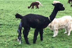 Breeding, Birthing & Cria Care 2 people