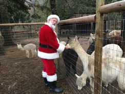 Santa visits with the alpacas! December 14th