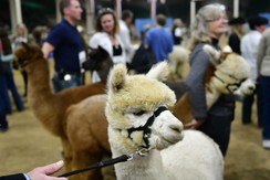 Fleece, humming, superfine fiber: Inside the world of competitive alpaca shows