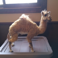 Photo of 3-D Felted Camel. (SOLD)