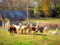 Bedford's Lincoln Pike Alpaca Farm, LLC - Logo