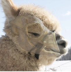 Due to the alpaca skull structure, the halter needs to sit high on the face so that it does not obstruct the nasal passages and inhibit breathing.