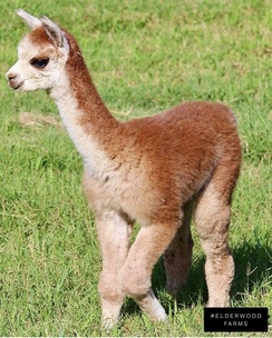 Epiphany as a cria.