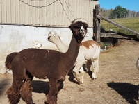 Dare2Dream Alpaca Farm - Logo