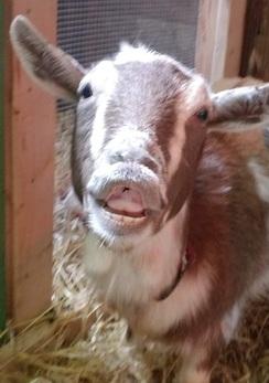 Goat Yoga Happy Hour