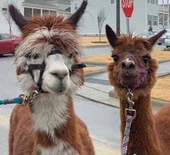 Photo of Alpaca Wedding