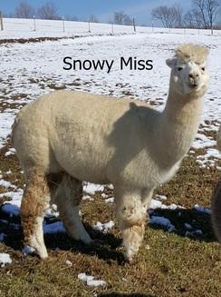 Snowy Miss' fleece              2019