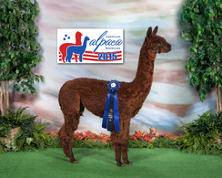 Trecini First Place American Alpaca Showplace