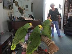 Double yellow head Amazon chicks