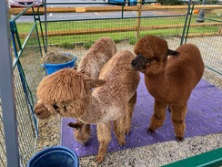 Our Alpaca Ambassadors at the Willey Farms Craft Fair 10/12/19