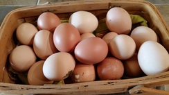 Free Range-Pastured Eggs
