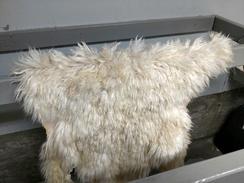 Full fleece white Suri
