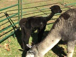 Cria Shearing Service