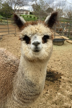 Virtual Alpaca Visits
