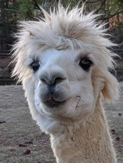 Photo of Alpacas 4 Your Virtual Meeting Option 1