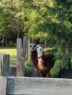 Photo of Alpacas 4 Your Virtual Meeting Option 3