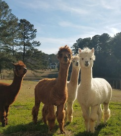 Photo of Alpacas 4 Your Virtual Meeting Option 4