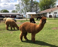 L & B Acres Alpacas - Logo