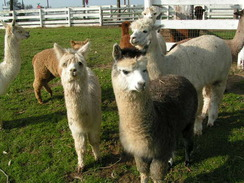 Private tour of our alpaca farm!