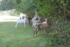 Small buckling herd doing a bit of goatscaping