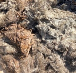 Photo of raw suri fiber