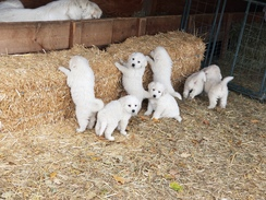 A 50% Deposit - Great Pyrenees Puppy!