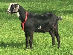 Mini Nubian Buck