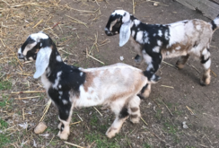 Wethers - Pet goats