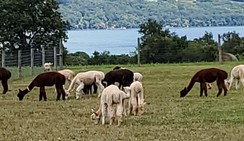 Alpaca Tours Available