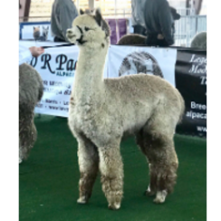 Learn all about alpacas