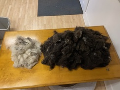 About 2 lbs. of fiber harvested from first combing.