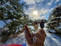 Llama Walk - January 2021