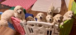 Waitlist- English Cream Golden Puppy