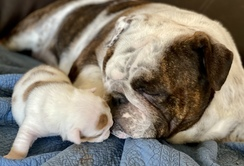 Waitlist- English Bulldog Puppy