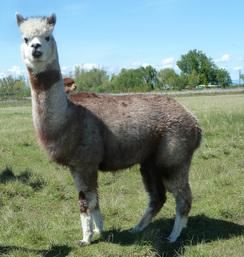 Photo of Grey(Med/Dk Rose) Alpaca Fiber -Serafina